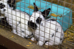 Rabbit in a cage. A rabbit locked up in his cage in a farm royalty free stock images