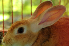 Rabbit in a cage. Royalty Free Stock Images