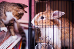 Rabbit in cage. View of a mother rabbit in cage and a cat outside Royalty Free Stock Image