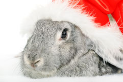 Rabbit in cap of Santy. Over white. Close-up face of rabbit royalty free stock images