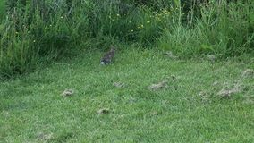 Rabbit carefuly observing his environment at the edge of the mown meadow stock video