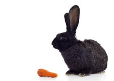 Rabbit and carrot. Black bunny with carrot on white background Royalty Free Stock Photo