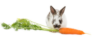 Rabbit with carrot Royalty Free Stock Photo