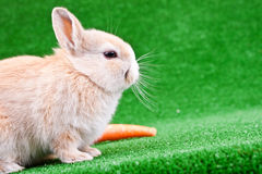 Rabbit and carrot on grass Stock Image