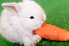 Rabbit with carrot Royalty Free Stock Photography