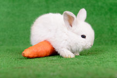 Rabbit with carrot Stock Images