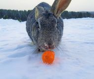 Rabbit. The rabbit with carrot on the snow Stock Photo