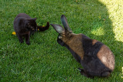 Rabbit and Cat. Rabbit starts attacking cat on grass in sun shadow Stock Photography
