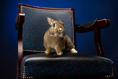Rabbit on the chair Royalty Free Stock Photo