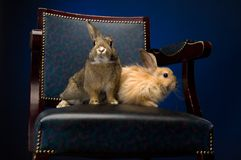 Rabbit on the chair Royalty Free Stock Images