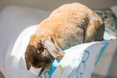 Rabbit on chair. Long eared rabbit jumping off bed Stock Photography