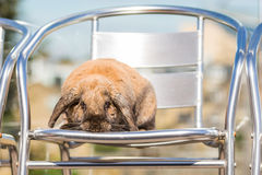 Rabbit on chair Stock Photo