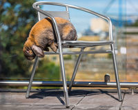 Rabbit on chair outdoors. Long eared rabbit on chair Royalty Free Stock Photography