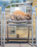 Rabbit on chair outdoors. Long eared rabbit on chair Stock Images