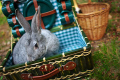Rabbit in the chest with utensils. Gray bunny sitting in the trunk with green dishes on the nature Stock Photography