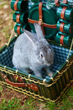 Rabbit in the chest with utensils. Gray bunny sitting in the trunk with green dishes on the nature Royalty Free Stock Images