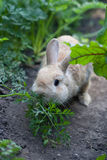 Rabbit chewing fennel Stock Image