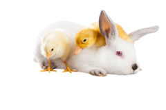 Rabbit chicken duck. Rabbit duck and chicken isolated on a white background stock photos