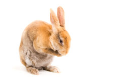 Rabbit. Cleaning itself on a white background Royalty Free Stock Photos
