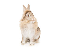 Rabbit. Cleaning itself on a white background stock image