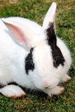 Rabbit close-up Royalty Free Stock Images