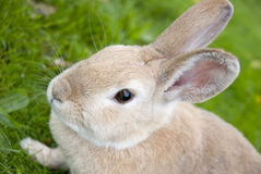 Rabbit Close Up With Defocused Background. Portrait of a Cute rabbit On Green Meadow. Easter Concept Royalty Free Stock Photo