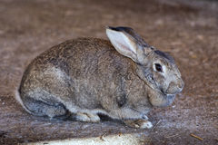 Rabbit close up portrait Royalty Free Stock Photos