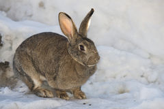 Rabbit close up portrait on snow background Stock Photography
