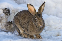 Rabbit close up portrait on snow background Stock Images