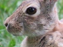 Rabbit. Colorado state Park rabbit closeup Stock Image
