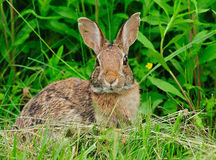 Rabbit cottontail. A cottontail rabbit in central Pennsylvania stock photography