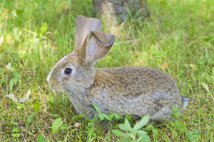 Rabbit Cottontail stock photography