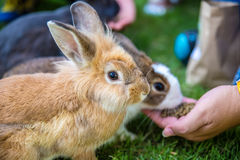Rabbit. Cottontail bunny rabbit eating grass in the garden Stock Photography