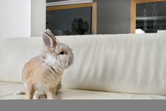 Rabbit on couch at home. Royalty Free Stock Images