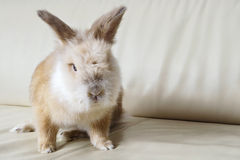 Rabbit on couch at home. Stock Images