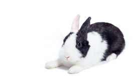 Rabbit crouch laying down isolated on white. Cute black and white bunny lying isolated on white Stock Photography