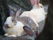The Rabbit Crouching. In The Zoo Stock Photos