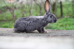 Rabbit. Cute rabbit  Young domestic grey rabbit Royalty Free Stock Photo