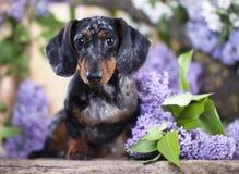 Rabbit Dachshund and  flowers Stock Photo