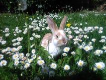 Rabbit. In the daisy garden Stock Image