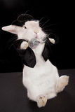 Rabbit dancing Royalty Free Stock Photography