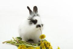 Rabbit with a dandelion Royalty Free Stock Photography
