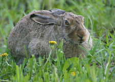 Rabbit and dandelions Stock Image