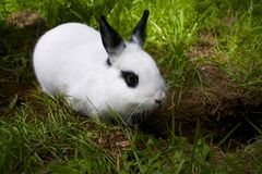 RABBIT DIGGING DIRT. This young female bunny loves to dig holes in the yard Stock Image