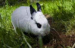 RABBIT DIGGING DIRT. This young female bunny loves to dig holes in the yard Stock Photos