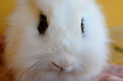 Rabbit. Dissatisfied person pet rabbit model Stock Photography