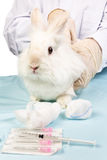 Rabbit at the doctor treating. Veterinarian in treating rabbits Association and syringe Royalty Free Stock Photos