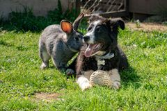 Rabbit and dog playing together royalty free stock photography