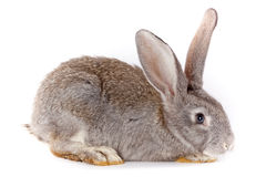 Rabbit. Domestic rabbit it is isolated in studio on a white background Royalty Free Stock Photography