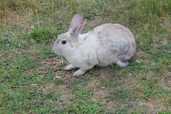 Rabbit, Domesticated Stock Photos